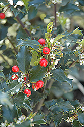 Berri-Magic Kids Meserve Holly (Ilex x meserveae 'Berri-Magic Kids') at Wasco Nursery