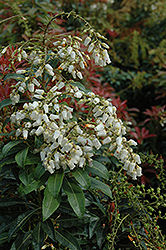 Mountain Fire Japanese Pieris (Pieris japonica 'Mountain Fire') at Wasco Nursery