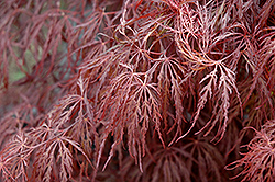 Crimson Queen Japanese Maple (Acer palmatum 'Crimson Queen') at Wasco Nursery