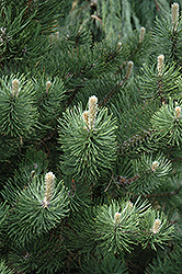 Oregon Green Austrian Pine (Pinus nigra 'Oregon Green') at Wasco Nursery