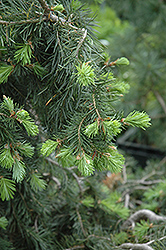 Emerald Twister Douglas Fir (Pseudotsuga menziesii 'Emerald Twister') at Wasco Nursery