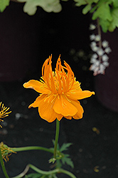 Superbus Globeflower (Trollius europaeus 'Superbus') at Wasco Nursery