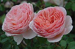 Abraham Darby Rose (Rosa 'Abraham Darby') at Wasco Nursery