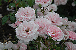 Bonica® Rose (Rosa 'Meidomonac') at Wasco Nursery