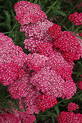 Saucy Seduction Yarrow (Achillea millefolium 'Saucy Seduction') at Wasco Nursery