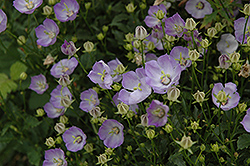 Samantha Bellflower (Campanula 'Samantha') at Wasco Nursery
