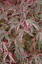 Shirazz Japanese Maple (Acer palmatum 'Gwen's Rose Delight') at Wasco Nursery