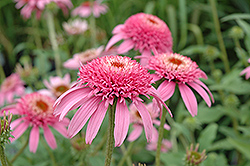 Cone-fections™ Pink Double Delight Coneflower (Echinacea purpurea 'Pink Double Delight') at Wasco Nursery