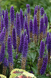 Royal Candles Speedwell (Veronica spicata 'Royal Candles') at Wasco Nursery