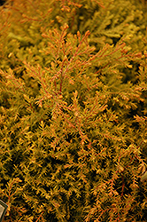 Fire Chief™ Arborvitae (Thuja occidentalis 'Congabe') at Wasco Nursery