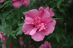 Lucy Rose Of Sharon (Hibiscus syriacus 'Lucy') at Wasco Nursery
