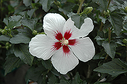 Lil' Kim® Rose of Sharon (Hibiscus syriacus 'Antong Two') at Wasco Nursery