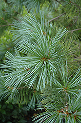 Vanderwolf's Pyramid Pine (Pinus flexilis 'Vanderwolf's Pyramid') at Wasco Nursery