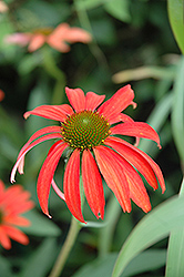 Tomato Soup Coneflower (Echinacea 'Tomato Soup') at Wasco Nursery