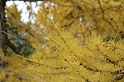 European Larch (Larix decidua) at Wasco Nursery