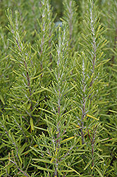 Upright Rosemary (Rosmarinus officinalis 'Upright') at Wasco Nursery