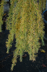 Varied Directions Larch (Larix decidua 'Varied Directions') at Wasco Nursery