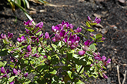 Petite Butterfly Sweet Pea Shrub (Polygala fruticosa 'Petite Butterfly') at Wasco Nursery