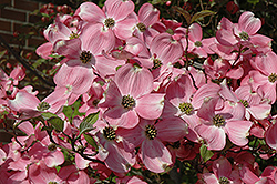 Cherokee Brave Flowering Dogwood (Cornus florida 'Cherokee Brave') at Wasco Nursery