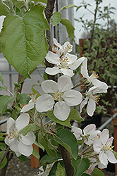 Gala Apple (Malus 'Gala') at Wasco Nursery