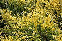 Golden Mop Falsecypress (Chamaecyparis pisifera 'Golden Mop') at Wasco Nursery
