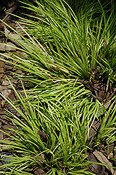 Grassy-Leaved Sweet Flag (Acorus gramineus 'Minimus Aureus') at Wasco Nursery