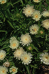 Mary Gregory Aster (Stokesia laevis 'Mary Gregory') at Wasco Nursery