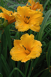 Chicago Sunrise Daylily (Hemerocallis 'Chicago Sunrise') at Wasco Nursery