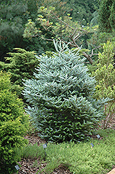 Silver Korean Fir (Abies koreana 'Silberlocke') at Wasco Nursery