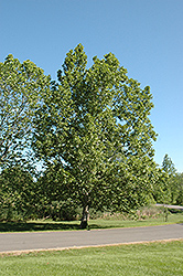 Sycamore (Platanus occidentalis) at Wasco Nursery