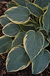 First Frost Hosta (Hosta 'First Frost') at Wasco Nursery