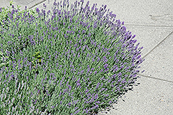 Munstead Lavender (Lavandula angustifolia 'Munstead') at Wasco Nursery