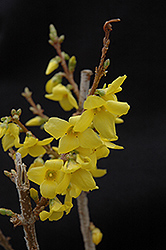 Show Off® Forsythia (Forsythia x intermedia 'Mindor') at Wasco Nursery