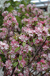 Coralburst Flowering Crab (Malus 'Coralburst') at Wasco Nursery