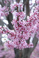 Eastern Redbud (Cercis canadensis) at Wasco Nursery