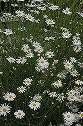 Marguerite Daisy (Argyranthemum gracile) at Wasco Nursery