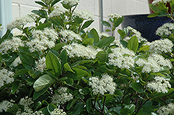 Winterthur Viburnum (Viburnum nudum 'Winterthur') at Wasco Nursery