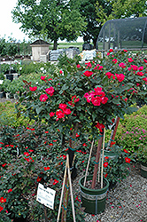 Knock Out® Rose Tree (Rosa 'Radrazz') at Wasco Nursery