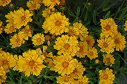 Jethro Tull Tickseed (Coreopsis 'Jethro Tull') at Wasco Nursery