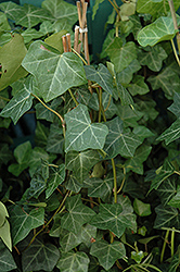 Thorndale Ivy (Hedera helix 'Thorndale') at Wasco Nursery