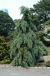 Graceful Grace Weeping Douglas Fir (Pseudotsuga menziesii 'Graceful Grace') at Wasco Nursery