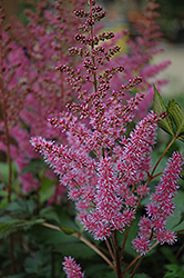 Maggie Daley Astilbe (Astilbe chinensis 'Maggie Daley') at Wasco Nursery