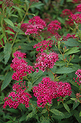 Neon Flash Spirea (Spiraea japonica 'Neon Flash') at Wasco Nursery
