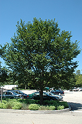 Triumph Elm (Ulmus 'Morton Glossy') at Wasco Nursery
