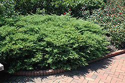 Kallay's Compact Juniper (Juniperus x media 'Kallay's Compact') at Wasco Nursery