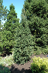 Columnar Norway Spruce (Picea abies 'Cupressina') at Wasco Nursery