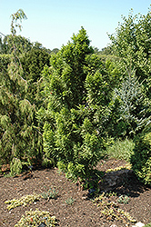 Peve Minaret Baldcypress (Taxodium distichum 'Peve Minaret') at Wasco Nursery