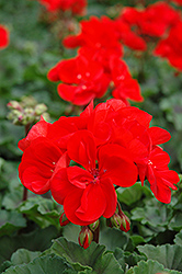 Tango Dark Red Geranium (Pelargonium 'Tango Dark Red') at Wasco Nursery