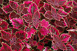 Trailing Plum Coleus (Solenostemon scutellarioides 'Trailing Plum') at Wasco Nursery
