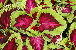 Kong Rose Coleus (Solenostemon scutellarioides 'Kong Rose') at Wasco Nursery